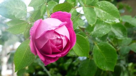 Foto de Pink rose - Imagen libre de derechos