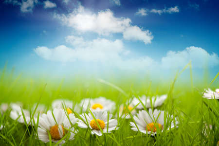 Summer background - field of daisy and blue sky