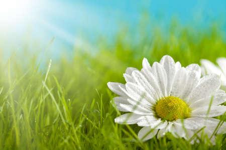 Photo pour Nature background - beautiful flower on green field - image libre de droit