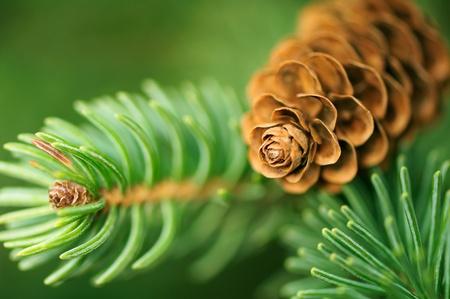Photo pour Pine Cone And Branches - image libre de droit