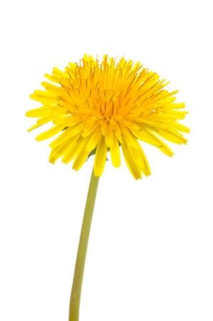 Foto de Yellow Dandelion (Taraxacum Officinale) Flower on White Background - Imagen libre de derechos
