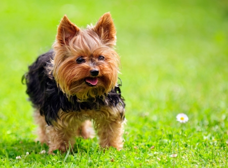 Photo pour Cute Yorkshire Terrier Dog Playing in the Yard - image libre de droit