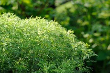 Green Southernwood or Artemisia Abrotanum Shrub