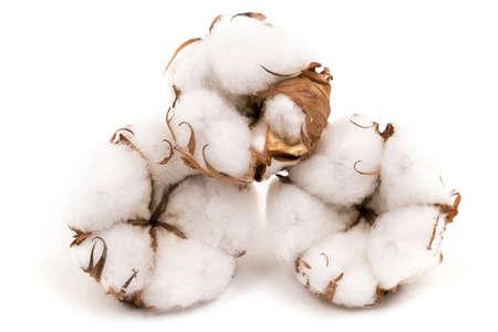 Foto de Cotton Plant - Imagen libre de derechos