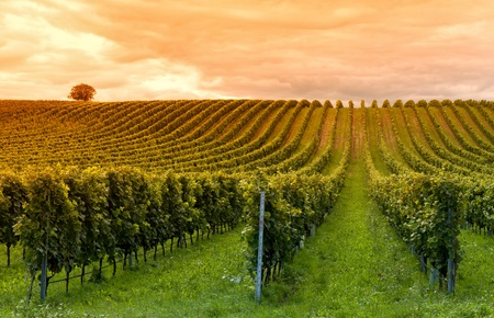 Photo pour Beautiful rows of grapes before harvesting - image libre de droit