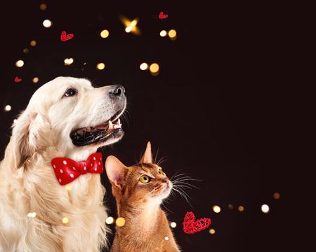 Foto de Cat and dog, abyssinian kitten , golden retriever looks at right - Imagen libre de derechos