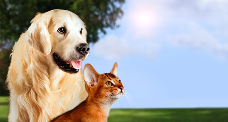 Photo pour Cat and dog, abyssinian cat, golden retriever together on peaceful nature background. - image libre de droit