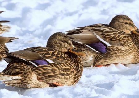Foto de Females of the mallards on the snow. Birds on the pond in winter. Wild birds in the city. - Imagen libre de derechos