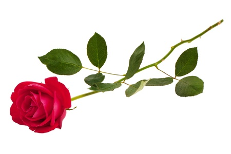 Photo for Beautiful scarlet festive fresh rose on a white background - Royalty Free Image