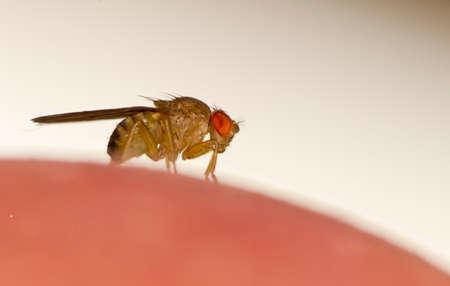 Photo pour Fruit fly   Drosophila malanogastar    on the surface of apples - image libre de droit