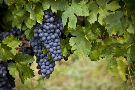 Photo for red ripe bunch of grapes on a vine - Royalty Free Image