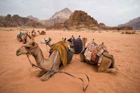 Resting camels, Wadi Rum desert, Jordan
