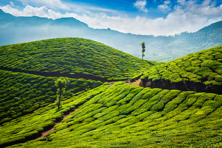 Photo for Tea plantations. Munnar, Kerala - Royalty Free Image