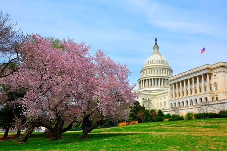 US Capitol in cherry bloom