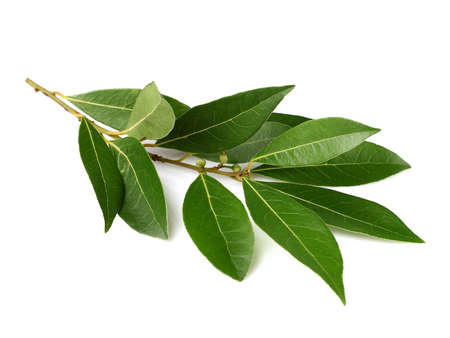 Branch of laurel on a white background