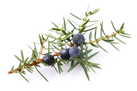 Photo for Juniper berry - Royalty Free Image