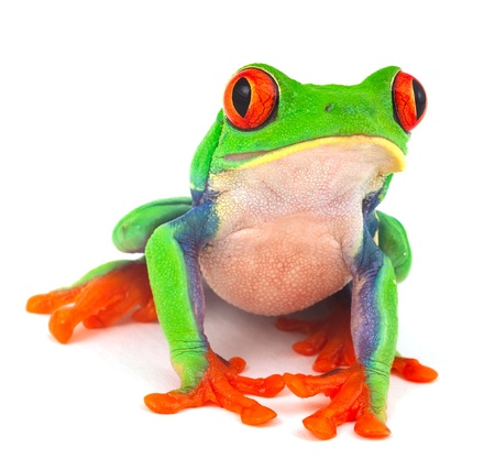 Photo pour red eye treefrog macro isolated exotic frog curious animal bright vivid colors - image libre de droit