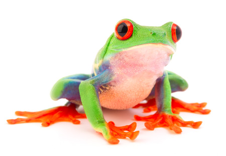 Photo pour Red eyed monkey tree frog, Agalychnis callydrias. A tropical rain forest animal with vibrant eye isolated on a white background. - image libre de droit