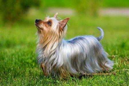 Photo pour Australian Silky Terrier on grass - image libre de droit