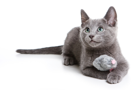 Photo pour Fluffy gray kitten of a Russian blue cat (isolated on white) - image libre de droit