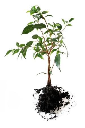 Photo pour Plant with roots isolated - image libre de droit