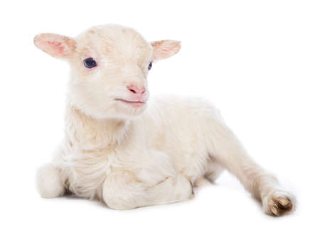 Foto de Lamb sitting - Imagen libre de derechos
