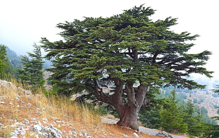 Photo pour Lebanon Cedar in a foggy landscape - image libre de droit
