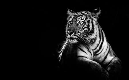 Photo pour black and white tiger portrait. - image libre de droit