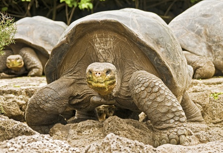 Galapagos Tortoises Approaching