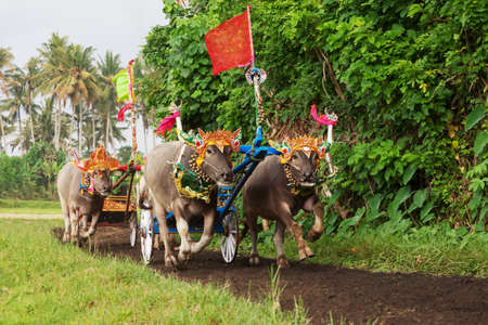 Photo for Traditional balinese buffalo races - Royalty Free Image