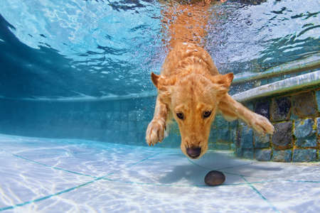 Photo pour Playful golden retriever puppy in swimming pool has fun - jumping and diving deep down underwater to retrieve stone. Training and active games with family pets and popular dog breeds on summer holiday - image libre de droit