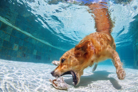 Foto de Playful golden retriever labrador puppy in swimming pool has fun - dog jump and dive underwater to retrieve shell. Training and active games with family pets and popular dog breeds on summer holiday - Imagen libre de derechos