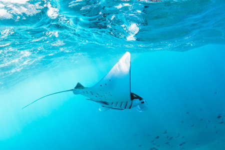Photo pour Underwater view of hovering Giant oceanic manta ray ( Manta Birostris ). Watching undersea world during adventure snorkeling tour to Manta Beach in tropical Nusa Penida island, Indonesia. - image libre de droit