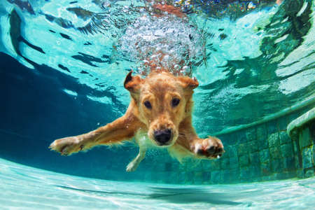 Foto de Underwater funny photo of golden labrador retriever puppy in swimming pool play with fun - jumping, diving deep down. Actions, training games with family pets and popular dog breeds on summer vacation - Imagen libre de derechos