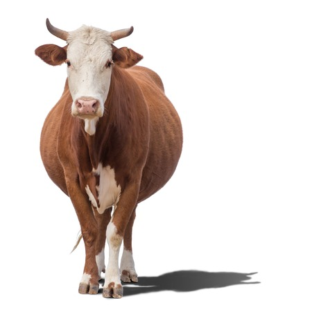Photo for Cow or calf standing on the ground. The cow is isolated on white background and may cast shadow - Royalty Free Image
