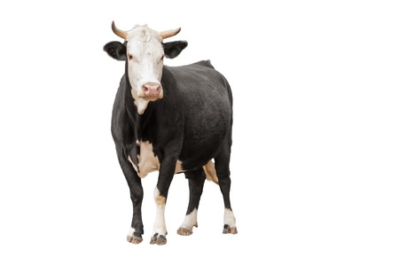 Foto de Cow or calf standing on the ground. The cow is isolated on white background and may cast shadow - Imagen libre de derechos