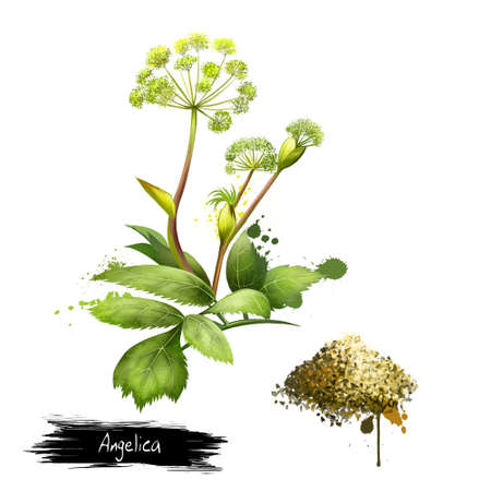 Photo for Angelica forest or woodland. Angelica sylvestris. Species of genus Apiaceae. Large bipinnate leaves and compound umbels of white or greenish-white flowers. Dried Garden Angelica. Digital art image. - Royalty Free Image