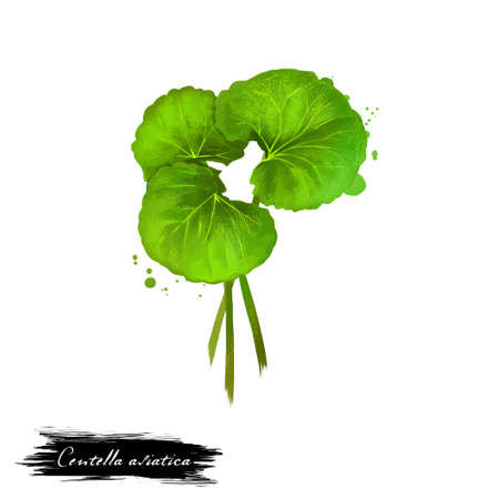 Foto de Centella asiatica pennywort or Indian Gotu kola ayurvedic herb digital art illustration with isolated. Healthy organic spa plant widely used in treatment, for preparation medicines for natural usages - Imagen libre de derechos