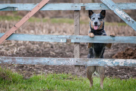 Photo pour Portrait of Australian cattle dog standing near a rural fence for farm cattle - image libre de droit