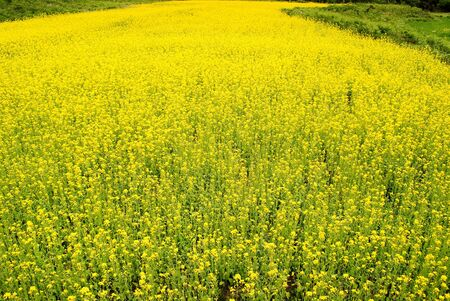 Photo pour canola flower field - image libre de droit