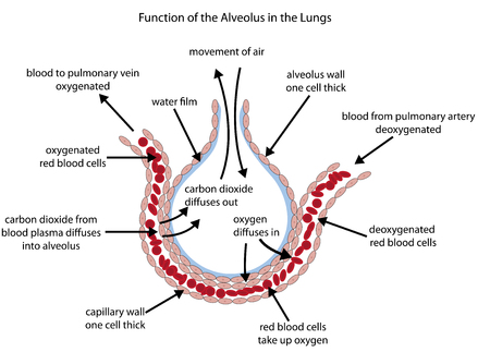 Illustration pour Fully labelled diagram of the alveolus in the lungs showing gaseous exchange. - image libre de droit