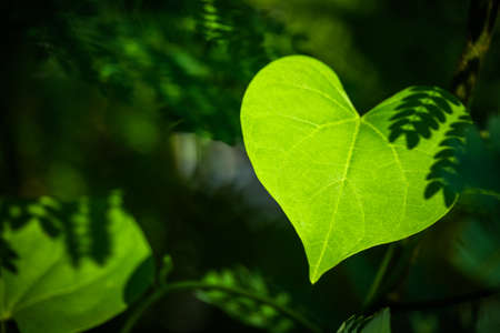 Photo pour Closeup leaf like a heart shape in the forest - image libre de droit