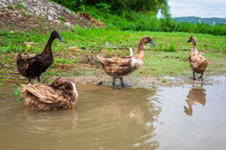 Thai farm duck set for free to walk around and bath itself on the river bank