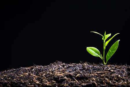 Foto de Young plant is born and growing from soil on black background with copy space, new hope for environment or metaphor to starting buisness concept - Imagen libre de derechos