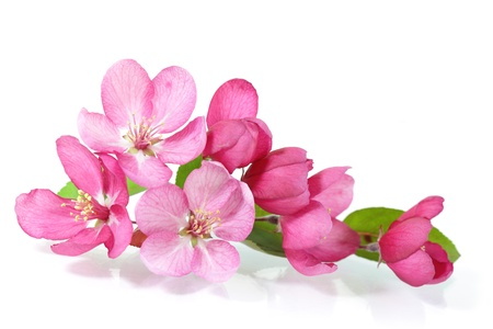 Red cherry blossom flower isolated on white