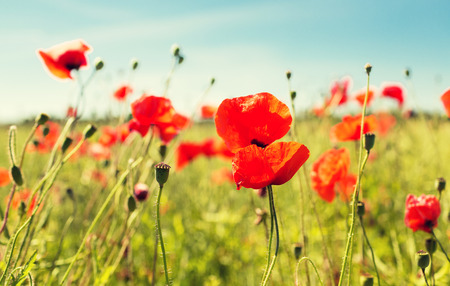 Photo pour happiness nature summer and vacation concept  blooming poppy field - image libre de droit