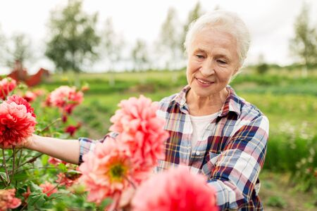 Photo for farming, gardening and people concept - happy senior woman with flowers blooming at summer garden - Royalty Free Image