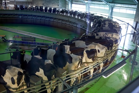 Photo for milking cows at dairy farm rotary parlour system - Royalty Free Image