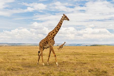Foto de giraffes in savannah at africa - Imagen libre de derechos