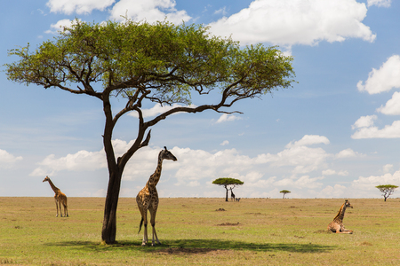 Foto de animal, nature and wildlife concept - group of giraffes in maasai mara national reserve savannah at africa - Imagen libre de derechos